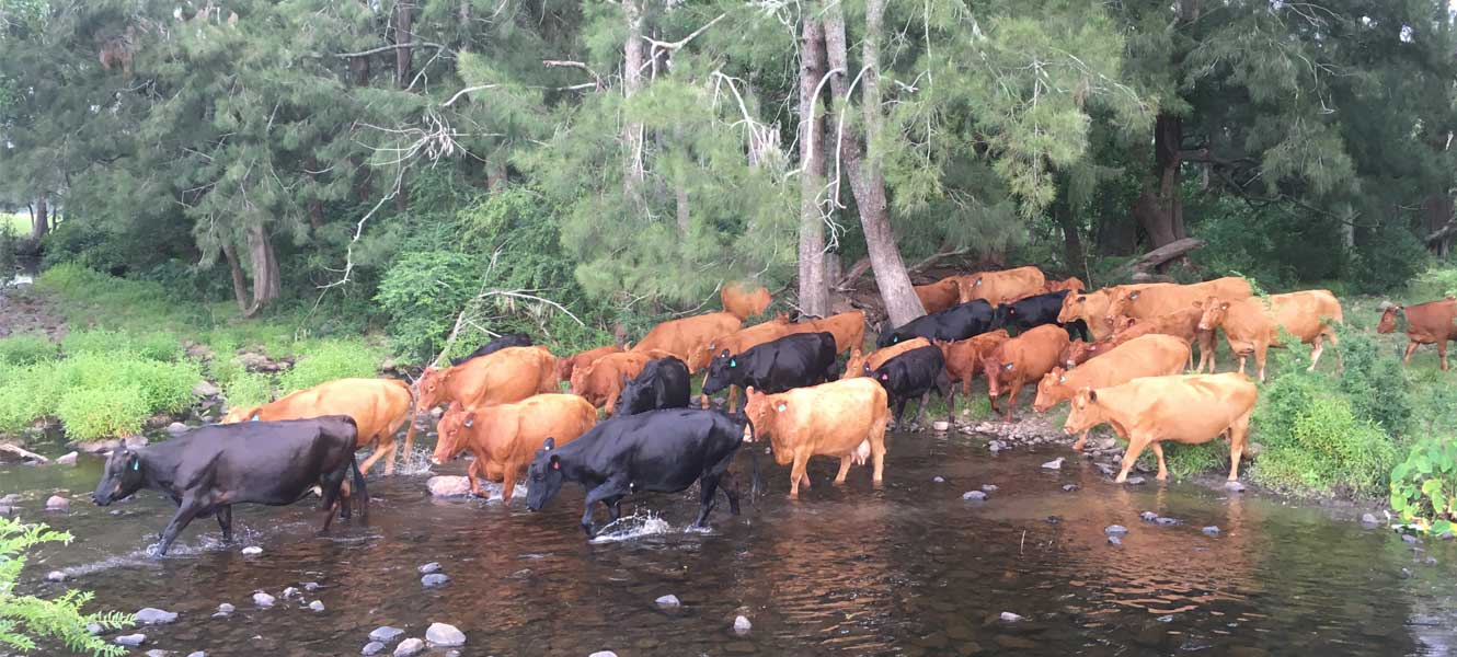 Cattle crossing creek