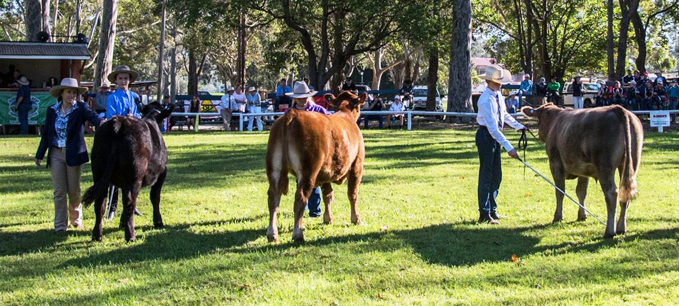 school_steer_spectacular_cattle_steer_judging